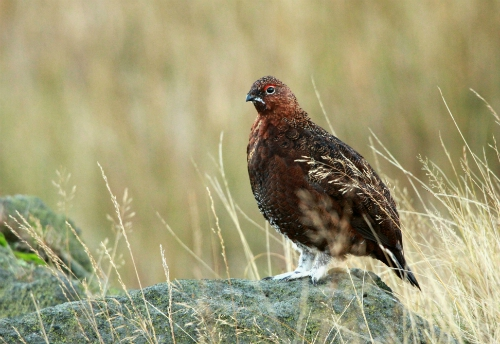 Red grouse, Peak District