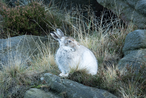 Mountain hare, Dove Stone