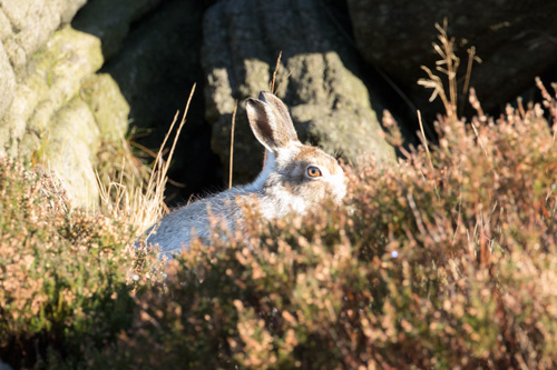 Mountain hare, RSPB Dove Stone