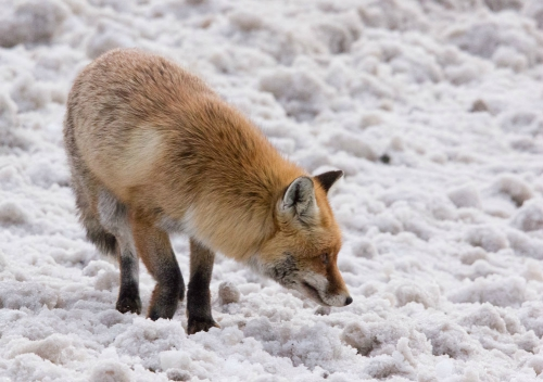 Fox, French Alps