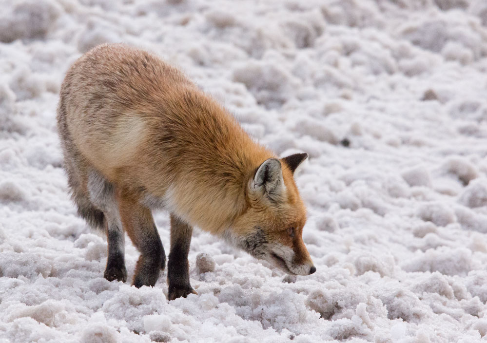 Fox in Val Thorens