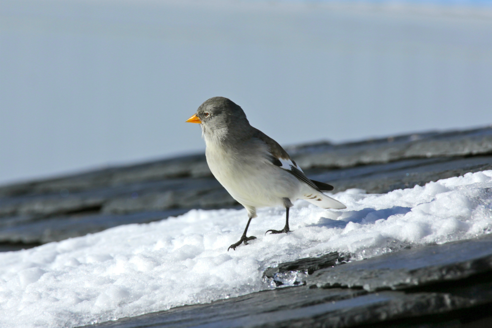 Snow finch on Mont de la Chambre