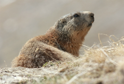 Marmot in Val Thorens
