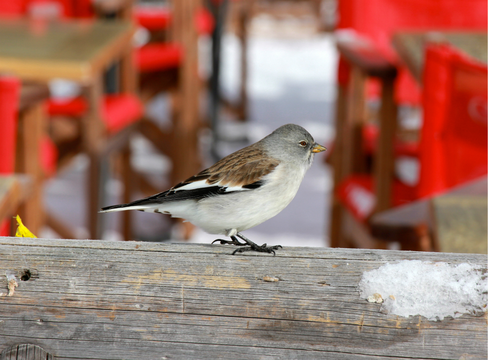 Snow finch, Val Thorens